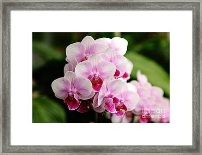 Pink Orchids 5d22439 Framed Print by Wingsdomain Art and Photography