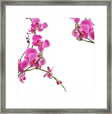 Pink Orchids Framed Print by Boon Mee
