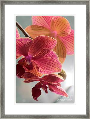 Pink Orchids Framed Print by Carol Groenen