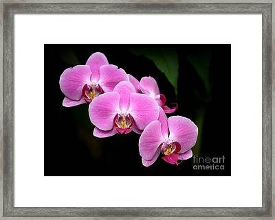 Pink Orchids In A Row Framed Print by Sabrina L Ryan