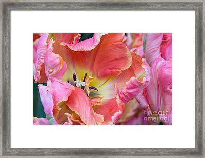 Pink Parrot Framed Print by Diana Jo Marmont