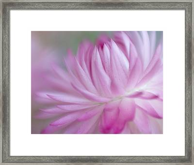 Pink Passion Framed Print by David and Carol Kelly