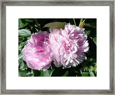 Pink Peonies 3 Framed Print by HEVi FineArt
