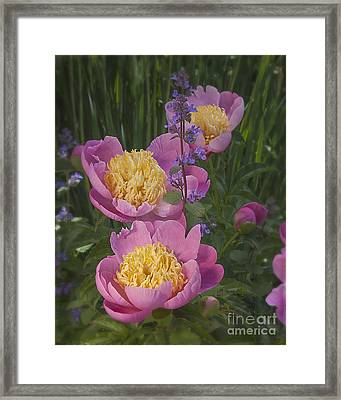 Pink Peonies In My Garden Framed Print by Ann Jacobson