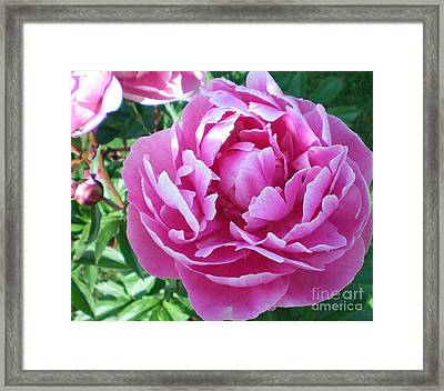 Framed Print featuring the photograph Pink Peony by Barbara Griffin