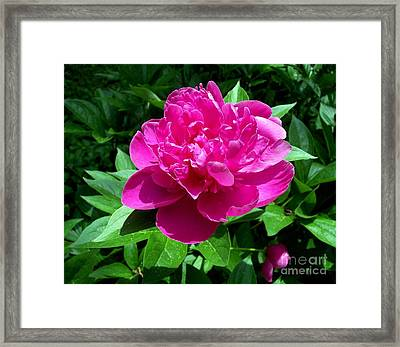 Pink Peony Blossom Framed Print by Janine Riley