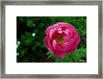 Pink Peony Colchester Vermont Framed Print by Mark Holden
