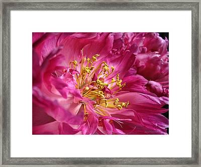Pink Peony Flower Macro Framed Print by Jennie Marie Schell