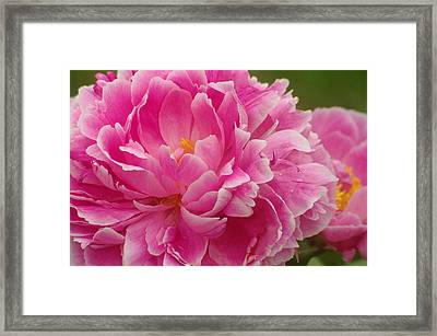 Framed Print featuring the photograph Pink Peony by Suzanne Powers