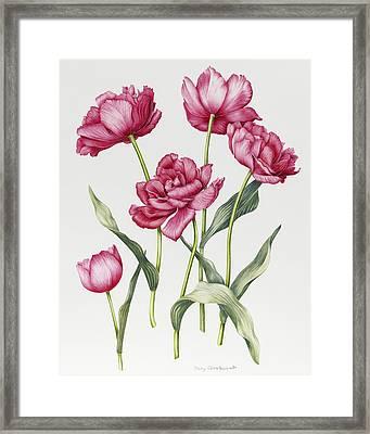Pink Peony Tulips Framed Print by Sally Crosthwaite