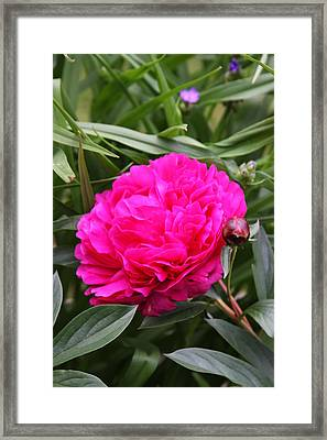 Framed Print featuring the photograph Pink Peony by Vadim Levin