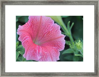 Pink Petunia Framed Print by Victoria Sheldon
