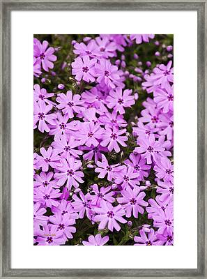 Pink Phlox Flowers Abstract Framed Print