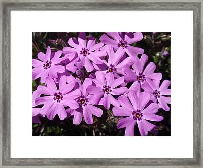 Pink Phlox Flowers Framed Print by Christina Rollo