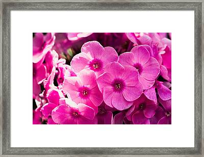 Pink Phloxes 1 Framed Print