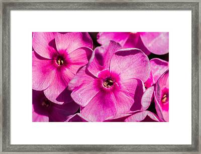Pink Phloxes 2 Framed Print