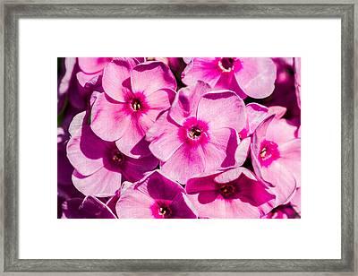 Pink Phloxes 3 Framed Print