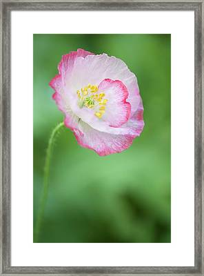Pink Picotee Shirley Poppy Framed Print by Maria Mosolova