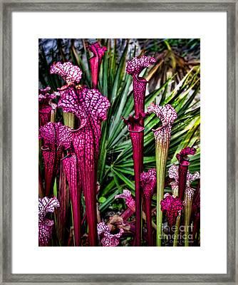 Pink Pitcher Plants Framed Print by Colleen Kammerer
