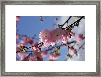 Pink Plum On Sky 2 Framed Print