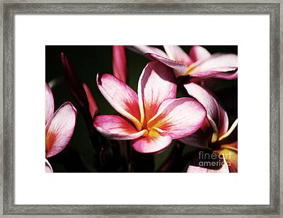 Framed Print featuring the photograph Pink Plumeria by Angela DeFrias