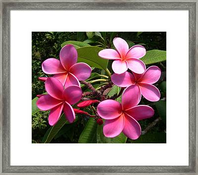 Pink Plumeria Framed Print by Claude McCoy