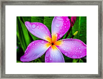 Pink Plumeria Framed Print by TK Goforth
