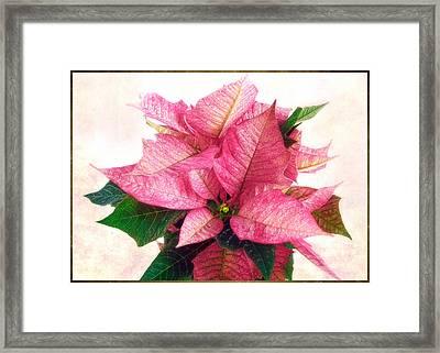 Pink Poinsettia Framed Print