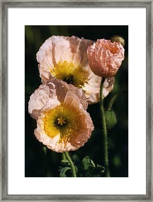 Pink Poppies Framed Print by Robert Lozen