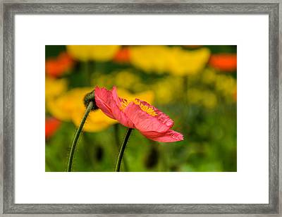 Pink Poppy  Framed Print by Jeanne May
