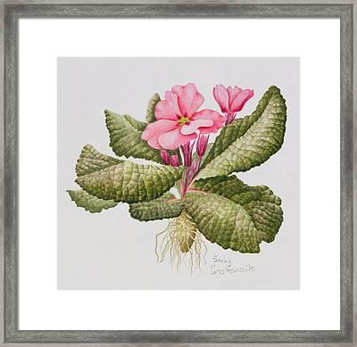 Pink Primrose Framed Print by Sally Crosthwaite