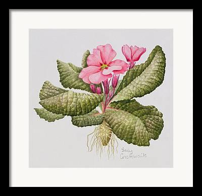 Pink Primroses Framed Prints