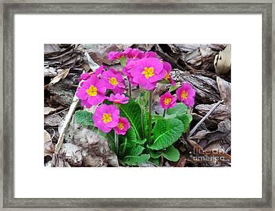 Pink Primrose Framed Print