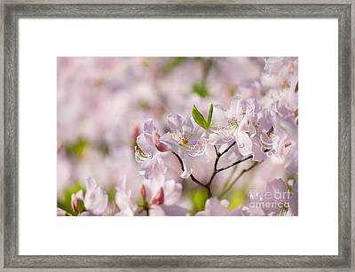 Stem Of Pink Rhododendron Called Azalea Flowers  Framed Print by Arletta Cwalina