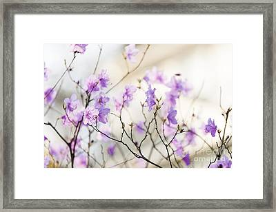 Pink Rhododendron In Spring Framed Print by Elena Elisseeva