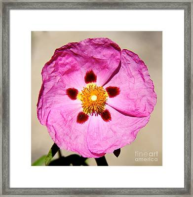 Pink Rock Rose Framed Print by Suzanne Oesterling