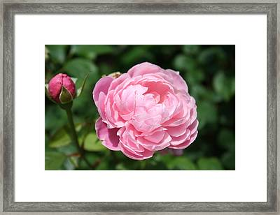 Framed Print featuring the photograph Pink Rose 2 by Ellen Tully