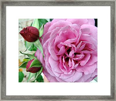 Pink Rose And Buds Framed Print by Cathy Jourdan