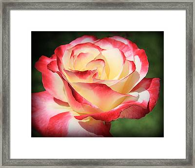 Framed Print featuring the photograph Pink Rose by Athala Carole Bruckner