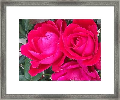 Pink Rose Blossoms Framed Print