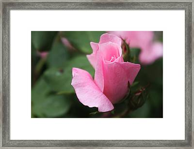 Pink Rose Framed Print by Carolyn Ricks