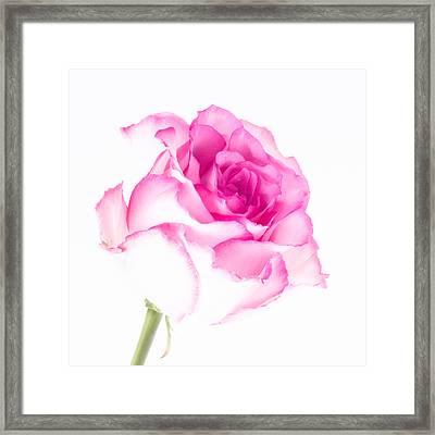 Pink Rose Confection Framed Print