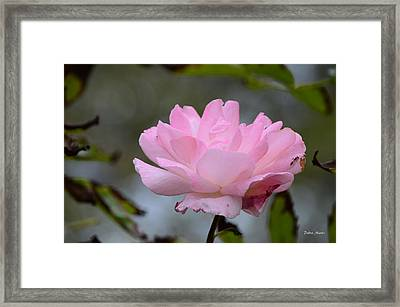 The Last Rose Framed Print by Debra Martz