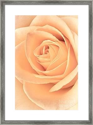 Pink Rose Framed Print by Edward Fielding