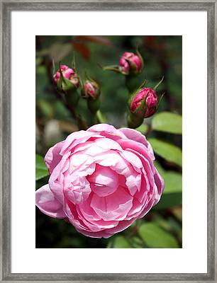 Framed Print featuring the photograph Pink Rose by Ellen Tully