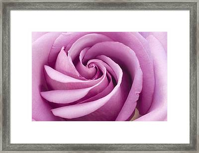 Pink Rose Folded To Perfection Framed Print by Sandra Foster