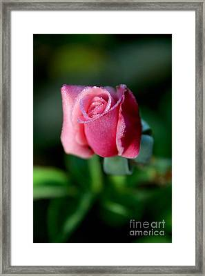 Pink Rose From The Myst Framed Print by Wernher Krutein