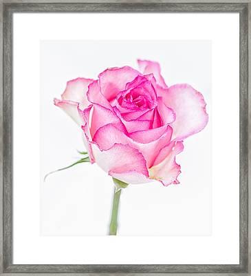 Pink Rose Glory Framed Print