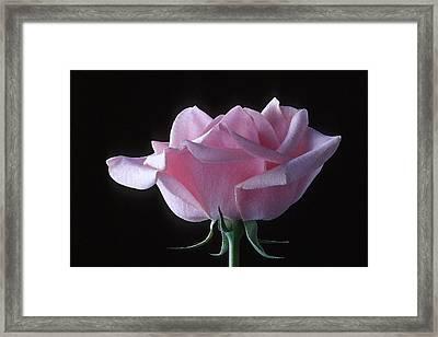 Pink Rose I Framed Print