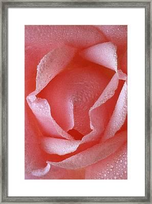 Pink Rose IIi Framed Print